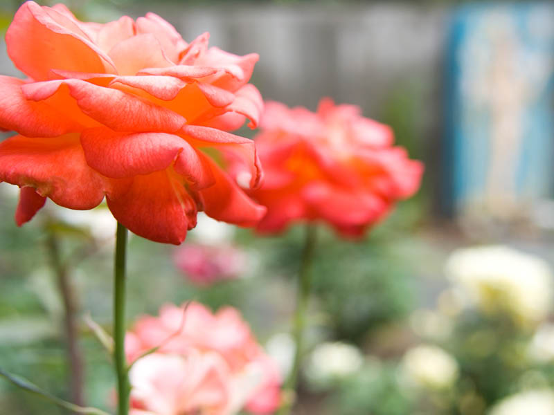 nichols-canyon-rose-garden